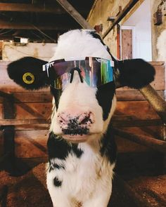 31 Funny Pictures & Hilarious Memes Ya Shouldn't Miss 12 Baby Farm Animals, Baby Cows, Baby Animals Pictures, Cute Little Animals, Cute Animal Pictures, Cute Funny Animals, Animals And Pets, Funny Cow Pictures, Funny Pets
