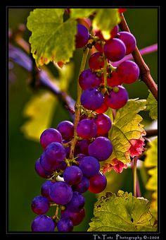 Trauben - wine grapes by def110, via Flickr