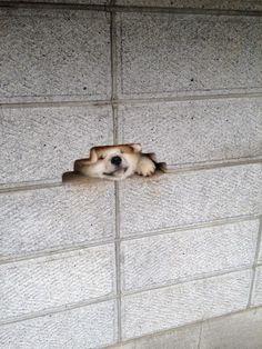 塀の穴へギュウギュウに顔を押し込む犬1