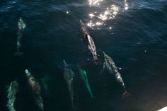 'Superpod' of 5,000 dolphins and endangered fin whales spotted off Long Beach http://www.scpr.org/blogs/news/2013/01/19/12061/endangered-fin-whales-superpod-dolphins-long-beach/# @SeaShepherd #defendconserveprotect