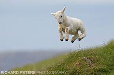 Springtime wildlife: an actual 'springing' lamb. I love how cute newborn Spring animals are. Happy Animals, Farm Animals, Funny Animals, Cute Animals, Wildlife Photography, Animal Photography, Spring Lambs, Photo Animaliere, Zoom Photo