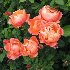 Nice Rosa U0027Livin Easyu0027