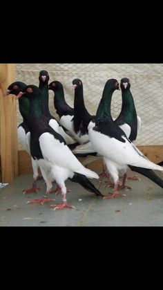 Pigeon Pictures, Homing Pigeons, Pigeon Breeds, Dove Pigeon, Khalid, Bird Feathers, Beautiful Birds, Animals And Pets, Pakistan