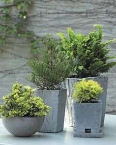 Indoor Gardening Create a winter forest in miniature to enjoy all year long by potting low-maintenance dwarf conifers. - Create a winter forest in miniature to enjoy all year long by potting low-maintenance dwarf conifers. Winter Container Gardening, Container Plants, Gardening Tips, Organic Gardening, Indoor Gardening, Garden Shrubs, Garden Pots, Garden Landscaping, Garden Ideas