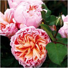 Edelrose 'Alexandrine'® jetzt günstig in Ihrem MEIN SCHÖNER GARTEN - Gartencenter schnell und bequem online bestellen.