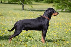 The Lithuanian Hound (Lietuvių skalikas) is a rare, medium-size hunting dog from Lithuania. Muscular and sleek with a short, glossy black coat and limited tan markings. Height: 21-24 inches (53-61 cm.), weight: 60-75 pounds (27-32 kg.). This breed is energetic, free-spirited, with good movement> http://en.wikipedia.org/wiki/Lithuanian_Hound > http://skalikas.lt >