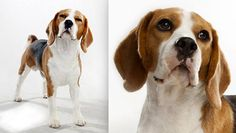 The beagle dog breed has many unique features. Check out the beagle dog breed on Animal Planet's Breed Selector. Beagle Dog Breed, Beagle Hound, Rabbit Litter, Pet Rabbit, Cute Beagles, Cute Puppies, Small Dog Breeds, Small Dogs, Dog Breed Selector