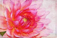 Pink Dahlia 8x12 Fine Art Print, Shabby Chic, Babys Room, Flowers, Pink, Dahlias, Photography, Prints, Wall Decor