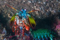 Mantis Shrimp: The Quickest Killers in the Animal Kingdom