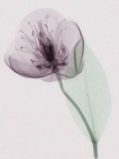 Photographic Print: X-Ray of a Leaf and Flower Poster by George Taylor : 24x18in