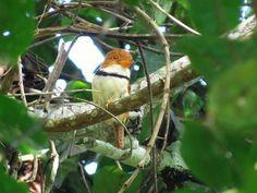 Foto rapazinho-de-colar (Bucco capensis) por Eduardo Patrial