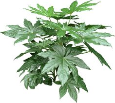 A Fatsia Plant can be grown indoors as a houseplant or outdoors in frost-free areas. It has shiny, leathery, medium green palmate (hand-shaped) leaves that grow at the ends of stiff stems. Plant Diseases, Tree Silhouette, Hand Shapes, Plant Care, Ikebana, Indoor Plants, House Plants, Frost, Herbs