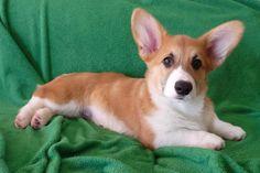 The Daily Corgi: Meet the Dimaio Frap Pack! Corgi Puppies, Corgis, Welsh, Addiction, Meet, Cats, Fun, Animals, Gatos