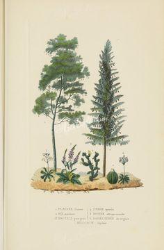 platanus orientalis, pinus maritima, digitalis purpurea, cactus opuntia, dionaea muscipula, dodecatheon muscipula, melocactus depressus      ...
