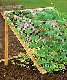 Cucumber Trellis Cucumbers like it hot. Lettuce likes it cool and shady. Two in one! I'll remember this for next year!