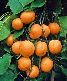 Apricot, Prunus armeniaca 'Gold Rich'