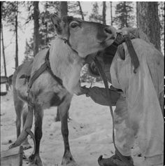 Finnish soldiers harnessing pack reindeer in 1942 (Kukkesjaur, Petsamo - from the archives of the Finnish Defence Force).