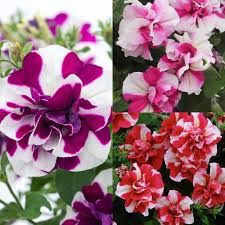 Image result for thumbelina fragrant petunia