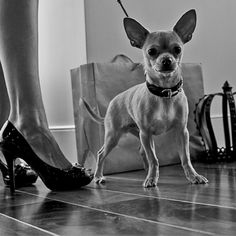 Phipps the Chihuahua