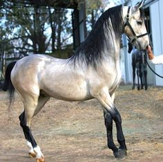 fallinreversee:  OMG I WANT. This is the most gorgeous horse i have ever seen. Pantheon- American Saddlebred Stallion