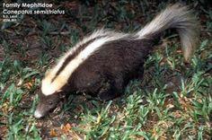 Striped Hog-nosed Skunk | 500px-Striped_Hog-Nosed_Skunk.jpg