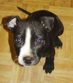 black american staffordshire terrier - Google Search