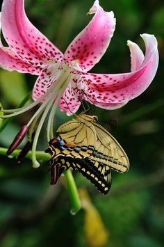 Swallowtail #Butterfly and Lily