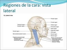 topografia facial - Pesquisa Google