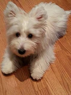 . Westie Puppies, Westies, Doggies, Pet Pictures, Bow Wow, West Highland Terrier, Cairn Terrier, White Terrier, White Dogs