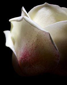 Eric SAUVAGE | Roses