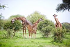 """""""The only man I envy is the man who has not yet been to Africa – for he has so much to look forward to."""" - Richard Mullin  #Tanzania #Travel #Africa #MyEasyTravel #Safari #Wildlife #Giraffe"""