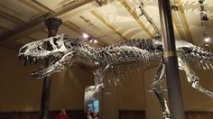 Tyrannosaurus Rex Skelett im Naturkundemuseum Berlin