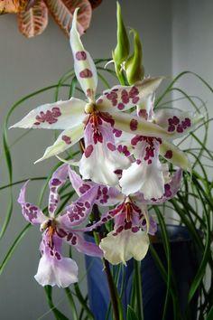 "Orchid Man in the United Kingdom: Aliceara (Beallara) Peggy Ruth Carpenter ""Morning ..."
