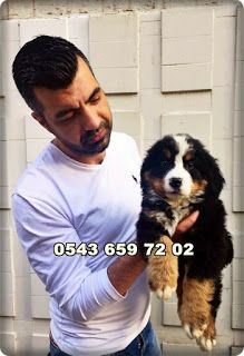 satılık yavru köpekler (Pet Station): satılık bernese dağ köpeği (mountain dog) yavrular...