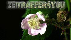 Brombeeren Rubus sectio Rubus Timelapse Zeitraffer Blooming blackberry