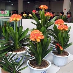 Flower Pots Chinese Seeds Plants Clivia Bonsai For Garden Rare Home New Home Garden Plants, Succulents Garden, House Plants, Planting Flowers, Tropical Garden, Tropical Plants, Ikebana, Container Plants, Container Gardening