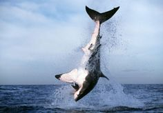 Cage Diving in Gansbaai, South Africa is the best shark cage diving destination in the world: Great White Shark Tours Great White Shark Diving, Animals United, Shark Photos, Shark Bait, Save Our Oceans, Apex Predator, The Great White, Adventure Activities, Beaches In The World