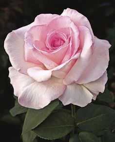 Award-Winning Roses for Your Garden Pink Promise This stunning pink hybrid tea offers perfectly shaped blooms that are great for cutting. Name: Rosa 'Pink Promise' Growing Conditions: Full sun and moist, well-drained soil Size: To 5 feet tall and wide Pretty Flowers, Pink Flowers, Colorful Roses, Exotic Flowers, Yellow Roses, Ronsard Rose, Tout Rose, Simple Rose, Coming Up Roses