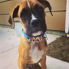 I'm the cutest boxer puppy in the world with my bow tie #boxerpuppy #ladiesman