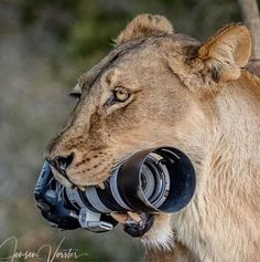 Wildlife photographer Barbara Jensen Vorster was photographying lions in Botswana the last summer, when suddenly somenthing incredible happened : a lioness stolen her Canon DSLR to give it to her … Canon Dslr, Canon Camera Models, Canon Eos, Canon Cameras, Leica Camera, Camera Gear, Film Camera, Polaroid Camera, Camera Tips