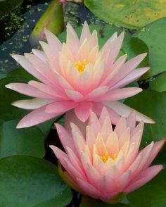 Water lilies are one of my favorite flowers