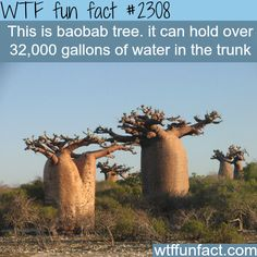 The Baobab tree - WTF fun facts presentation powerpoints Wow Facts, Wtf Fun Facts, True Facts, Funny Facts, Random Facts, Strange Facts, Creepy Facts, Random Stuff, The More You Know