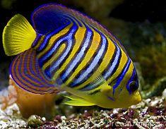royal angelfish - Google Search