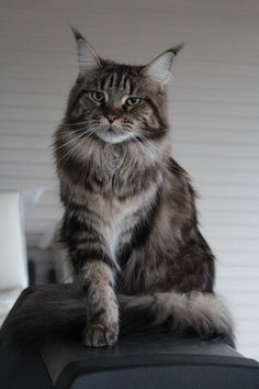 If anyone was ever in any doubt about the king-like characteristics off cats, look at this! I mean can you say regal?