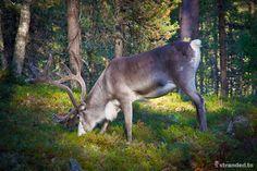 Reindeer at the Urho Kekkonen National Park, Lapland, Finland Lapland Finland, Reindeer, Northern Lights, National Parks, Animals, Animaux, Aurora, Animal, Nordic Lights