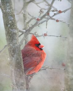 Cardinal always sat in the birch in our front yard during winter time in Kansas