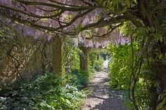 I want to walk through this Wisteria garden...