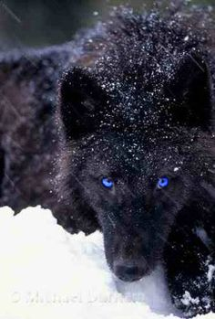Jay~ A slim black wolf with icy blue eyes. He fast and agile which makes him an amazing hunter and fighter. He is brave and determined and always a good friend to be around. Wolf Photos, Wolf Pictures, Animal Pictures, Beautiful Creatures, Animals Beautiful, Cute Animals, Wild Animals, Baby Animals, Wolf Spirit