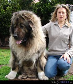 "A-M-A-Z-I-N-G! Look at the size of this dog! (Breed: Caucasian Ovcharka)  again- ""...SO FLUFFFFYYYY!"""