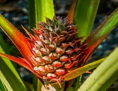 How To Grow Pineapple (Even In Cold-Weather Climates)
